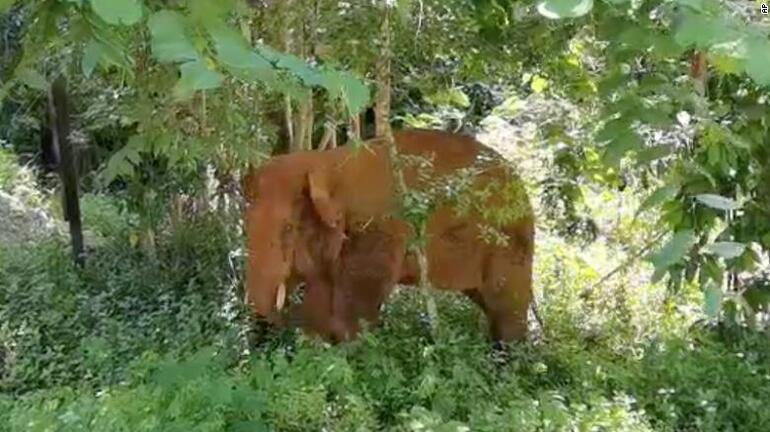 Dünya bu yolculuğu konuşuyor: Yüzlerce kilometre yürüyen fillerden biri nihayet eve döndü